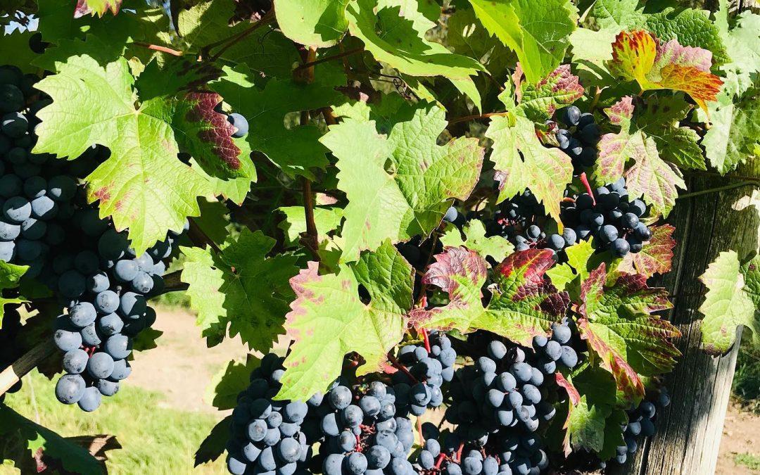 WildeAhr-Traubenlese: Herbstzeit ist Erntezeit